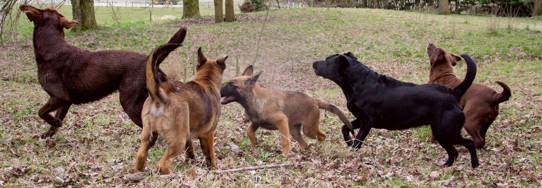 Groep spelende honden